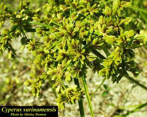 Cyperus surinamensis
