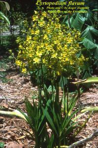 Cyrtopodium flavum