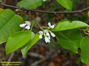Dalbergia brownei