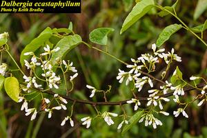 Dalbergia ecastaphyllum