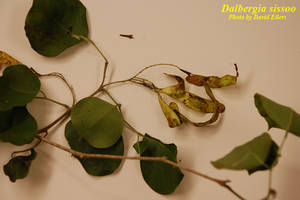 Dalbergia sissoo
