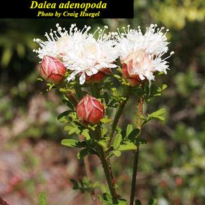 Dalea adenopoda