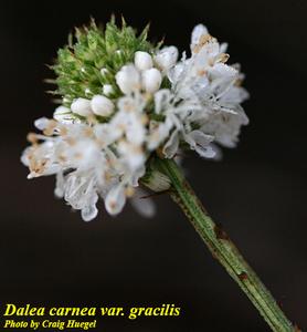 Dalea carnea var. gracilis