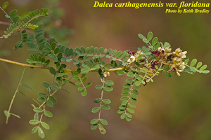 Dalea carthagenensis var. floridana