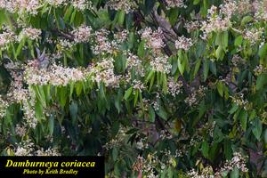 Damburneya coriacea