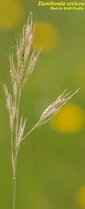 Danthonia sericea