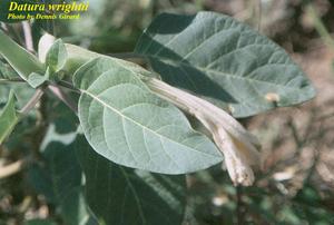 Datura wrightii