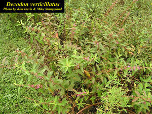 Decodon verticillatus