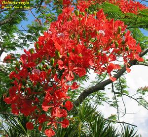 Delonix regia - Photos - ISB: Atlas of Florida Plants - ISB