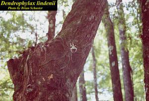 Dendrophylax lindenii