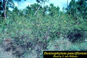 Denisophytum pauciflorum