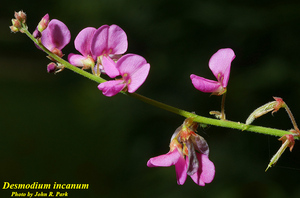 Desmodium incanum