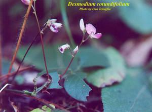 Desmodium rotundifolium