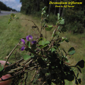 Desmodium triflorum