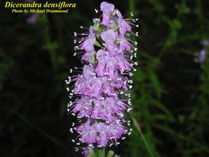 Dicerandra densiflora