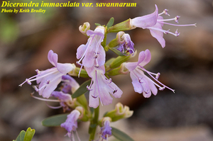 Dicerandra immaculata var. savannarum