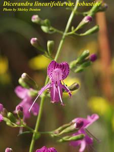 Dicerandra linearifolia var. robustior