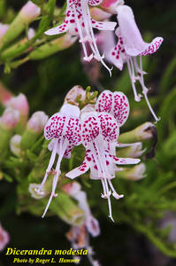 Dicerandra modesta