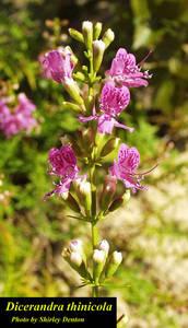 Dicerandra thinicola