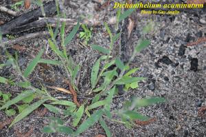 Dichanthelium acuminatum