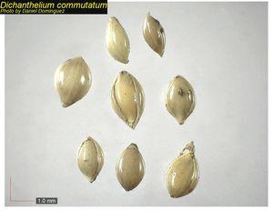 Dichanthelium commutatum