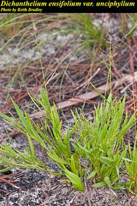 Dichanthelium ensifolium var. unciphyllum