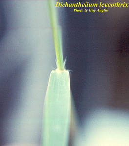 Dichanthelium leucothrix