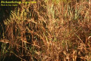 Dichanthelium scoparium