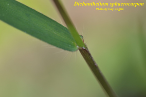 Dichanthelium sphaerocarpon