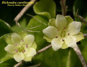 Dichondra carolinensis