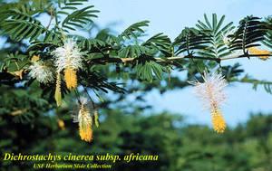 Dichrostachys cinerea subsp. africana