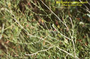 Dicliptera sexangularis
