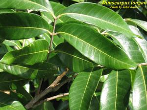 Dimocarpus longan