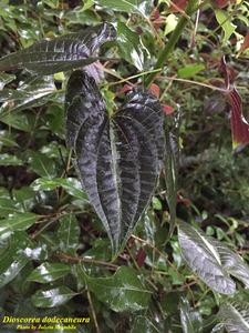 Dioscorea dodecaneura