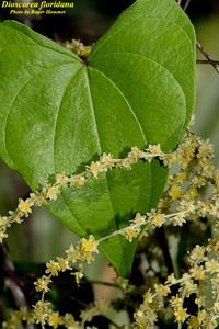 Dioscorea floridana