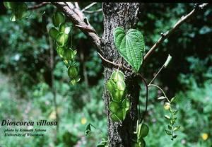 Dioscorea villosa