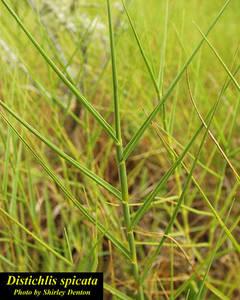 Distichlis spicata