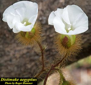 Distimake aegyptius