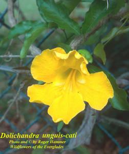 Dolichandra unguis-cati
