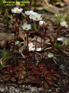 Drosera brevifolia