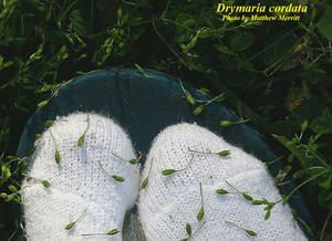 Drymaria cordata