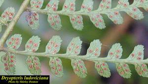 Dryopteris ludoviciana