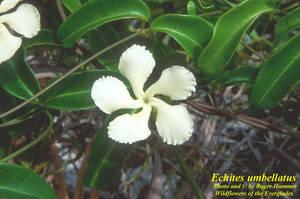 Echites umbellatus
