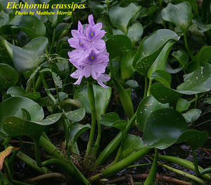 Eichhornia crassipes