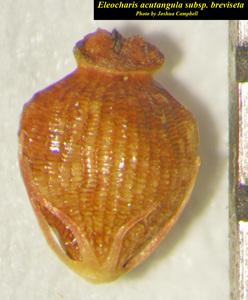 Eleocharis acutangula subsp. breviseta