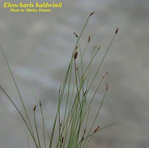 Eleocharis baldwinii