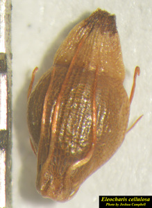 Eleocharis cellulosa