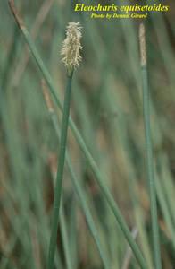 Eleocharis equisetoides