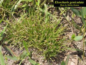 Eleocharis geniculata