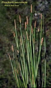 Eleocharis interstincta